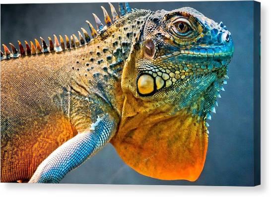 Iguanas Canvas Print - Lizard by Jackie Russo