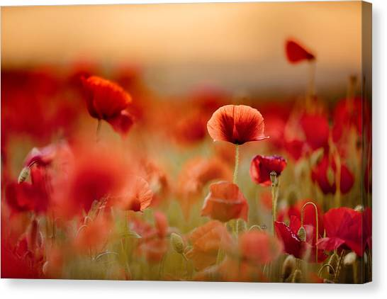 Corn Field Canvas Print - Poppy Dream by Nailia Schwarz