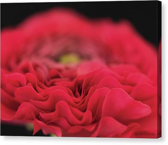 Canvas Print - Ranunculus In Bloom by Anne Geddes