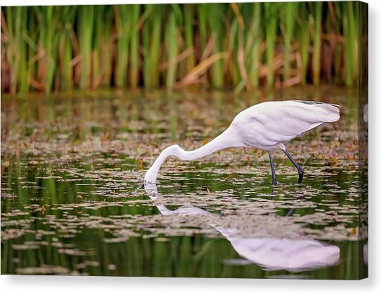 White, Great Egret Canvas Print