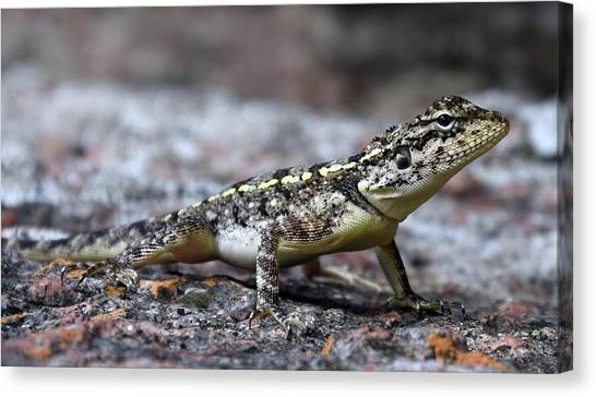 Salamanders Canvas Print - Lizard by Mariel Mcmeeking