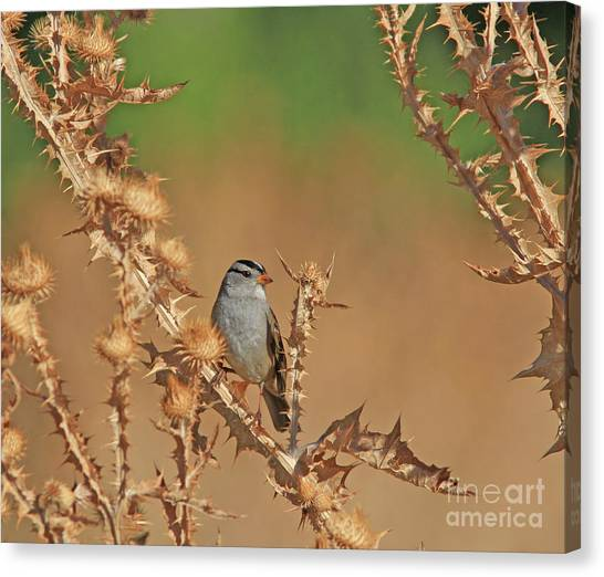 Canvas Print - White-crowned Sparrow by Gary Wing