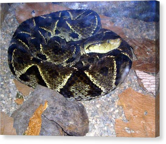 Pythons Canvas Print - Snake by Mariel Mcmeeking