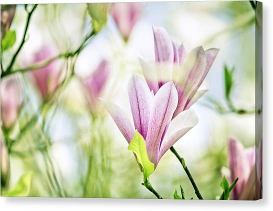 Fineart Canvas Print - Magnolia Flowers by Nailia Schwarz