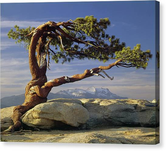 1m6701 Historic Jeffrey Pine Sentinel Dome Yosemite Canvas Print