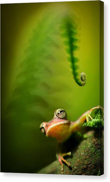 Frogs Canvas Print - Amazon Tree Frog by Dirk Ercken