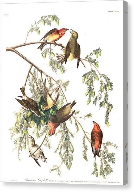 Crossbills Canvas Print - American Crossbill by John James Audubon
