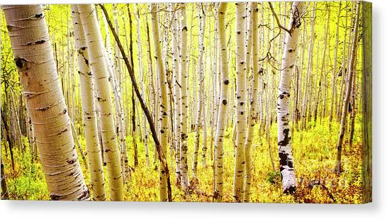 Aspen Grove II Canvas Print