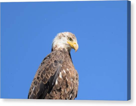 Bald Eagle Juvenile Perched Canvas Print