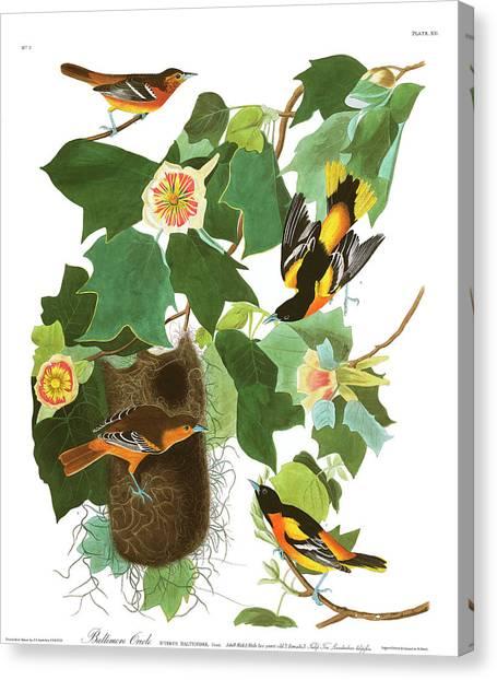 Baltimore Orioles Canvas Print - Baltimore Oriole by John James Audubon