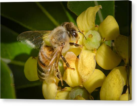 Canvas Print featuring the photograph Bees Gathering From Pittosporum Flowers by Jim Thompson