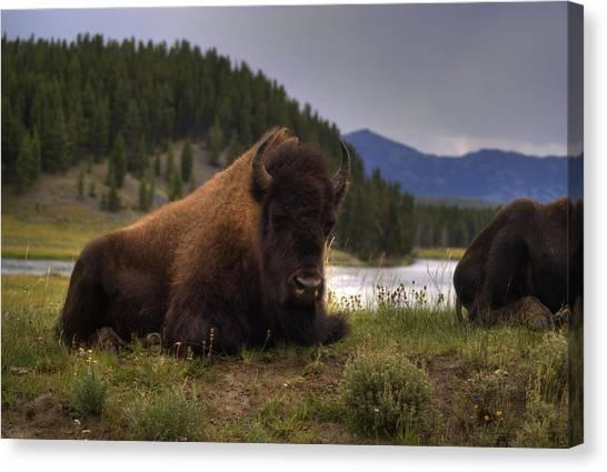 Bison Canvas Print by Patrick  Flynn