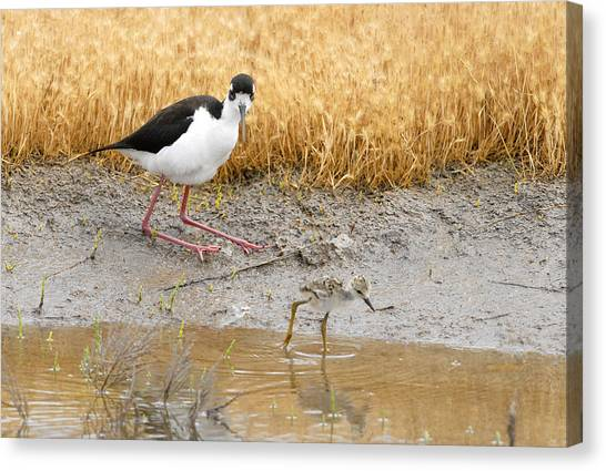 Black Necked Stilt With Chick Canvas Print by Dennis Hammer