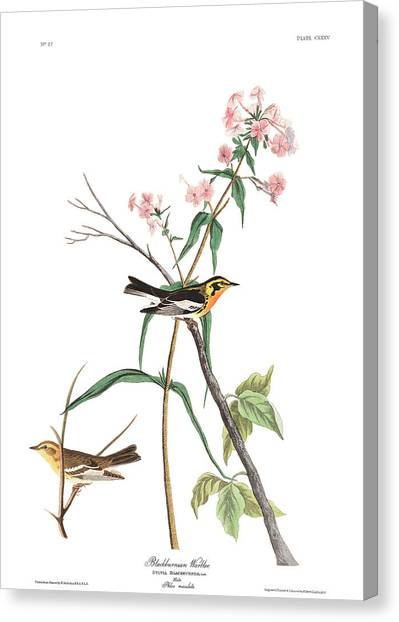 Warbler Canvas Print - Blackburnian Warbler by John James Audubon