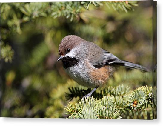 Boreal Chickadee Canvas Print