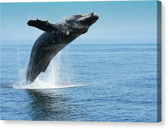 Breaching Humpback Whales Happy-1 Canvas Print