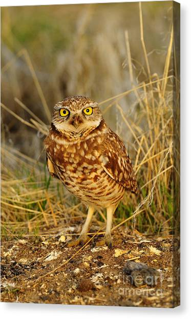 Burrowing Owl Canvas Print by Dennis Hammer