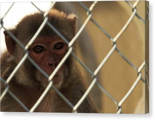 Caged Monkey Canvas Print