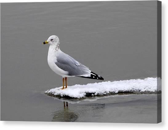 California Seagull Canvas Print by Dennis Hammer