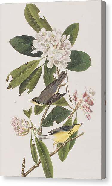 Warblers Canvas Print - Canada Warbler by John James Audubon