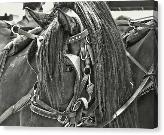 Carriage Horse Beauty Canvas Print by Dressage Design