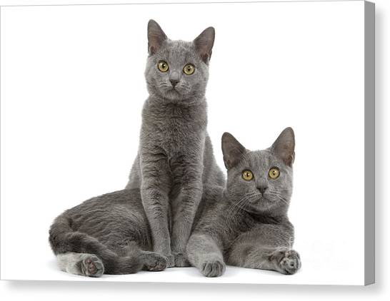 Chartreuxes Canvas Print - Chartreux Kittens by Jean-Michel Labat