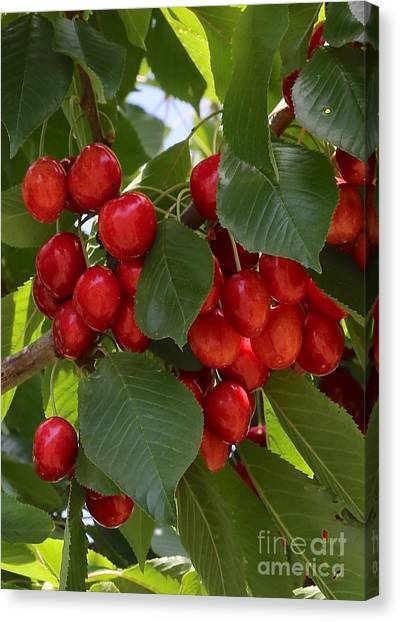 Grocery Store Canvas Print - Cherries by Carol Groenen