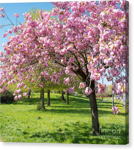 Cherry Blossom Tree Canvas Print