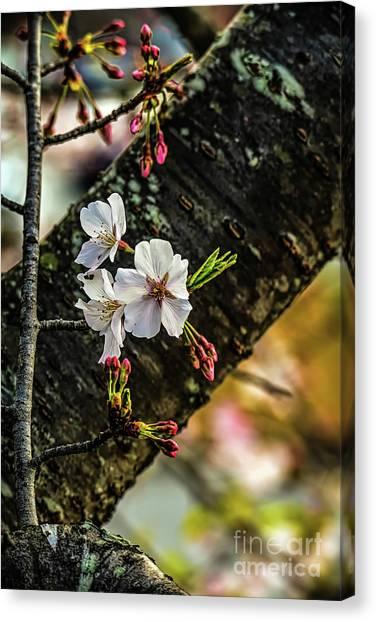 Cherry Tree Blossoms Canvas Print by Elijah Knight