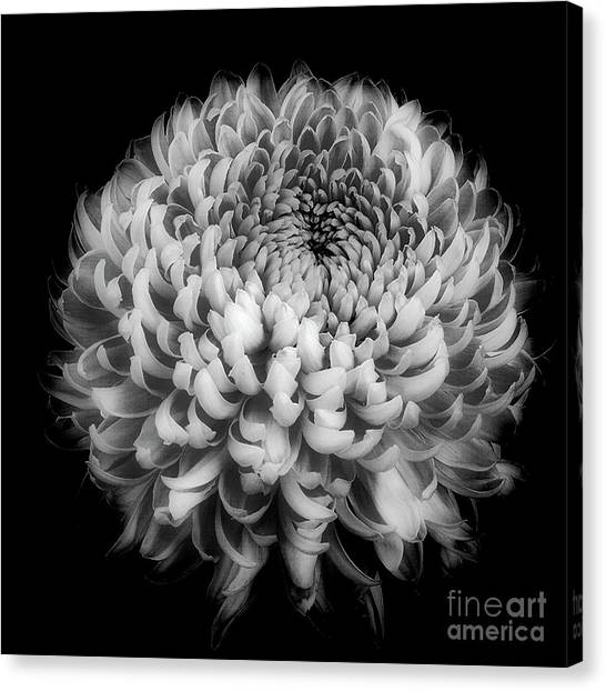 Canvas Print featuring the photograph Chrysanthemum 'otome Pink' by Ann Jacobson