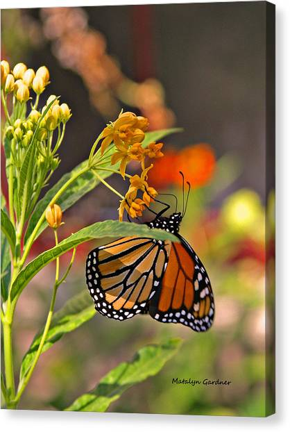 Clinging Butterfly Canvas Print