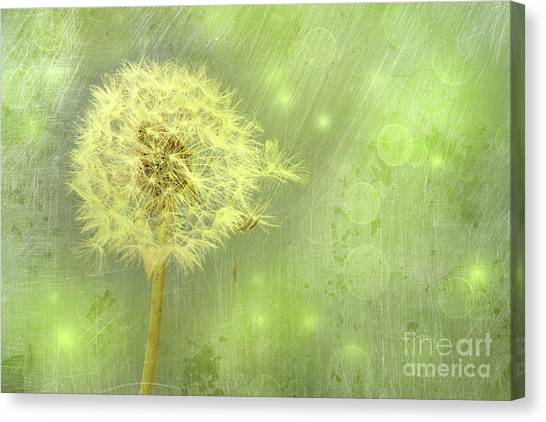 Closeup Of Dandelion With Seeds Canvas Print