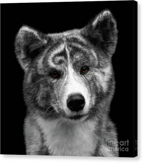 Dog Canvas Print - Closeup Portrait Of Akita Inu Dog On Isolated Black Background by Sergey Taran