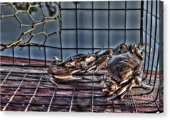 2 Crabs In Trap Canvas Print