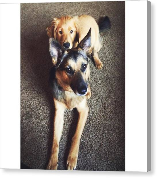 German Shepherds Canvas Print - 2 Dogs, 1 Body by Stevy Olive