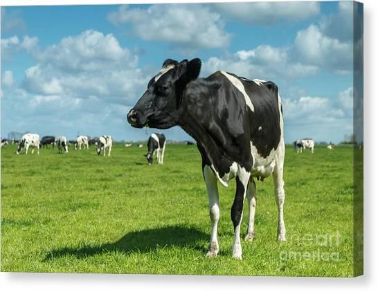 Cow Canvas Print - Dutch Cow by Menno Schaefer