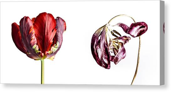 Tulip Canvas Print - Fading Beauty by Nailia Schwarz