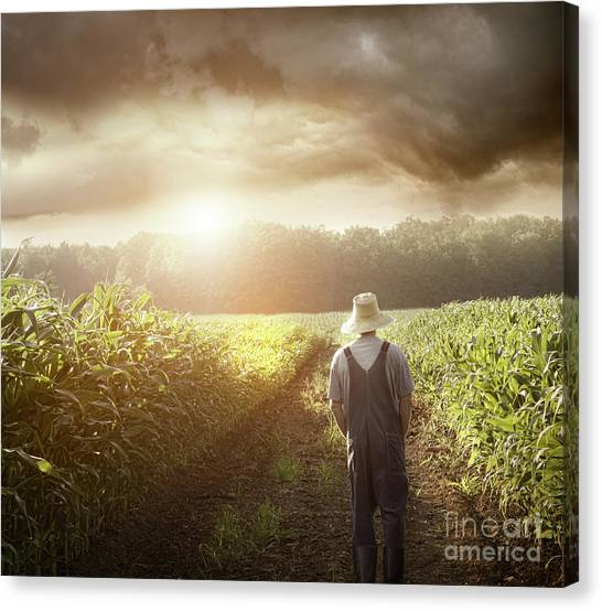 Farmer Walking In Corn Fields At Sunset Canvas Print