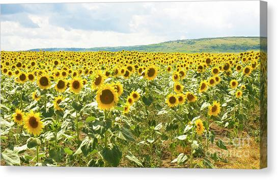 Field With Sunflowers Canvas Print