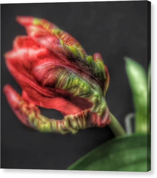 Tulips Canvas Print - @gillespieflorists Thanks Sarah by David Haskett II