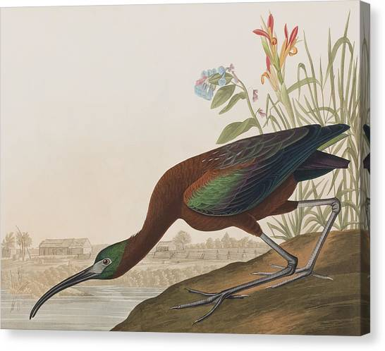 Ibis Canvas Print - Glossy Ibis by John James Audubon