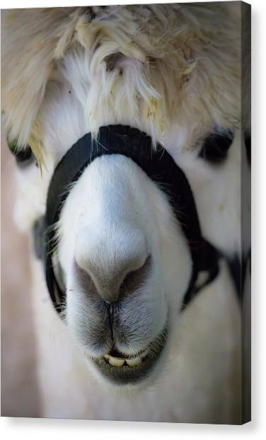 Llamas Canvas Print - Goat by Jackie Russo