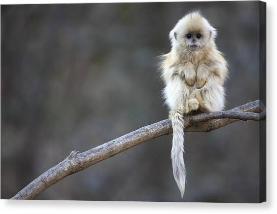 Mountain Ranges Canvas Print - Golden Snub-nosed Monkey Rhinopithecus by Cyril Ruoso