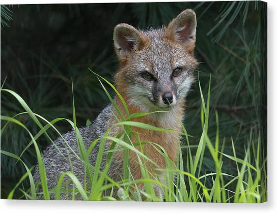 Gray Fox In The Grass Canvas Print