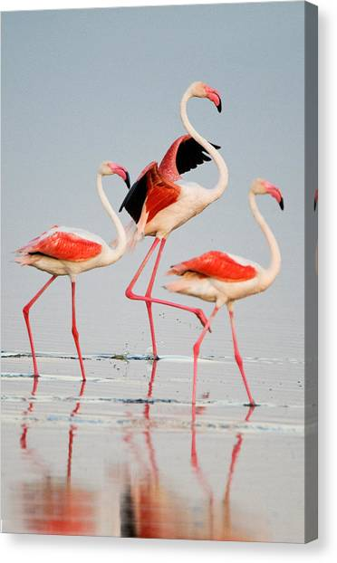 Flamingos Canvas Print - Greater Flamingos Phoenicopterus Roseus by Panoramic Images