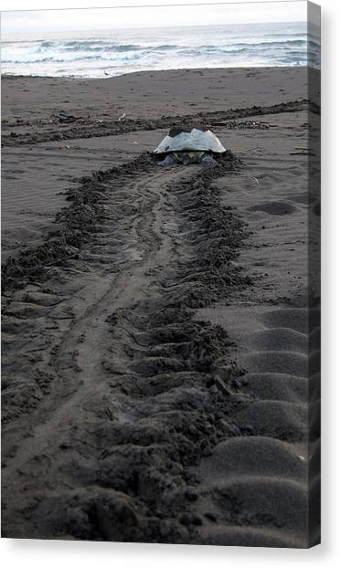 Green Sea Turtle Returning To Sea Canvas Print
