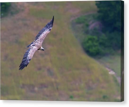 Griffon Vulture Flying, Drome Provencale, France Canvas Print