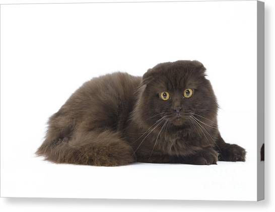 Scottish Folds Canvas Print - Highland Fold Cat by Jean-Michel Labat