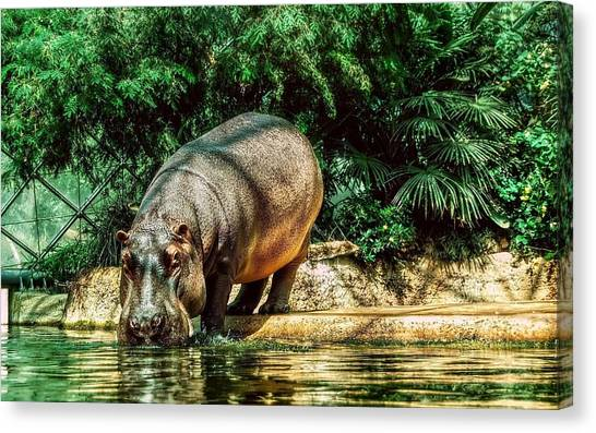 Hippos Canvas Print - Hippo by Jackie Russo