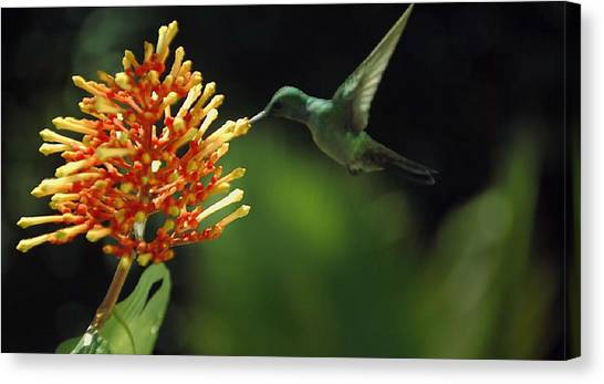 Hummingbird Canvas Print
